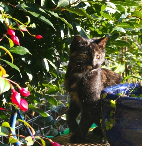 "Tilly, my 6 month old ""kitten"" in the garden"