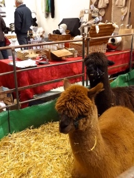 where alpaca wool comes from! www.birdfarmalpacas.com