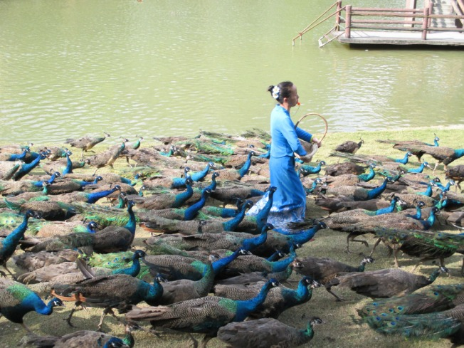 peacocks in Xishuangbanna, China