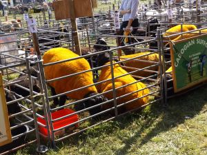 suffolk sheep dyed yellow