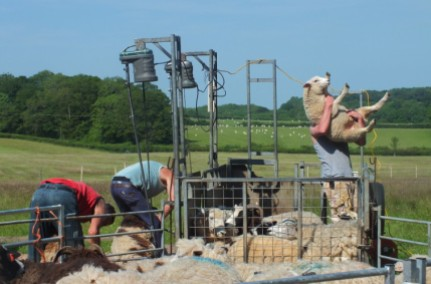 shearing in uk